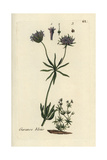 "Field Madder, Sherardia Arvensis, From Pierre Bulliard's ""Flora Parisiensis,"" 1776, Paris Giclee Print by Pierre Bulliard"