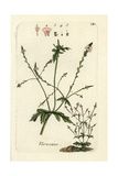"Vervain, Verbena Officinalis, From Pierre Bulliard's ""Flora Parisiensis,"" 1776, Paris Giclee Print by Pierre Bulliard"