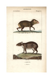 Agouti And Paca From Frederic Cuvier's Dictionary of Natural Science: Mammals, Paris, 1816 Giclee Print