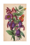 Campanula, Snowy Amaranth, Gilliesi Portulaca And Scarlet Monkey-flower Giclee Print by James Andrews