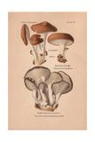 Eringi Mushroom, Pleurotus Eryngii, And Tree Oyster Mushroom, Pleurotus Ostreatus Giclee Print by Leon Dufour