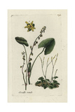 "Buckler Leaved Sorrel, Rumex Scutatus, From Pierre Bulliard's ""Flora Parisiensis,"" 1776, Paris Giclee Print by Pierre Bulliard"