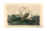 White Water-lily, Nymphaea Alba, From William Baxter's British Phaenogamous Botany, 1836 Giclee Print by Isaac Russell
