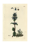 "Common Bugle, Ajuga Reptans, From Pierre Bulliard's ""Flora Parisiensis,"" 1776, Paris Giclee Print by Pierre Bulliard"