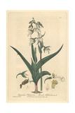 Marsh Helleborine, Epipactis Palustris, From William Baxter's British Phaenogamous Botany, 1839 Giclee Print by Charles Mathews