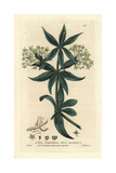 Wild Madder, Rubia Peregrina, From William Baxter's British Phaenogamous Botany, 1835 Giclee Print by Isaac Russell