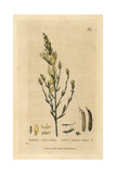 Dyer's Green Weed, Genista Tinctoria, From William Baxter's British Phaenogamous Botany, 1834 Giclee Print by Charles Mathews