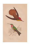 Ruby-crested, Chrysolampis Mosquitus, And Ruby-throated Hummingbird, Archilochus Colubris Giclee Print by Henry Gardiner Adams