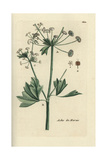 "Celery, Apium Graveolens, From Pierre Bulliard's ""Flora Parisiensis,"" 1776, Paris Giclee Print by Pierre Bulliard"