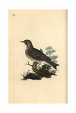 Field Lark (or Tree Pipit) From Edward Donovan's Natural History of British Birds, London, 1809 Impression giclée par Edward Donovan