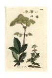 "Meadowsweet, Filipendula Ulmaria, From Pierre Bulliard's ""Flora Parisiensis,"" 1776, Paris Giclee Print by Pierre Bulliard"