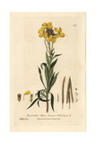 Wallflower, Cheiranthus Cheiri, From William Baxter's British Phaenogamous Botany, 1837 Giclee Print by Charles Mathews