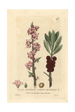 Common Mezereon, Daphne Mezereum, From William Baxter's British Phaenogamous Botany, 1834 Giclee Print by Isaac Russell