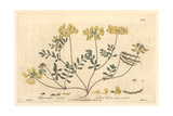 Tufted Horse-shoe Vetch, Hippocrepis Comosa, From Baxter's British Phaenogamous Botany, 1840 Giclee Print by Isaac Russell
