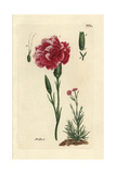 "Carnation, Dianthus Caryophyllus, From Pierre Bulliard's ""Flora Parisiensis,"" 1776, Paris Giclee Print by Pierre Bulliard"