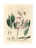 Alpine Barrenwort, Epimedium Alpinum, From William Baxter's British Phaenogamous Botany, 1834 Giclee Print by William Delamotte