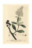 Privet, Ligustrum Vulgare, From William Baxter's British Phaenogamous Botany, 1834 Giclee Print by Isaac Russell