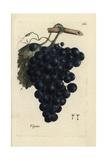 Grapes, Vitis Vinifera Giclée-Druck von Pierre Bulliard