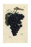 Grapes, Vitis Vinifera Lámina giclée por Pierre Bulliard