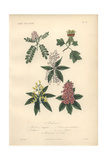 Locust Tree, Tulip Tree, White Red Buckeye, Yellow Red Buckeye, And Purple Horse Chestnut Giclee Print by Edouard Maubert