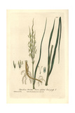 Twin-spiked Cord Grass, Spartina Stricta, From William Baxter's British Phaenogamous Botany, 1836 Giclee Print by Charles Mathews
