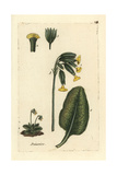 Cowslip, Primula Veris Giclee Print by Pierre Bulliard