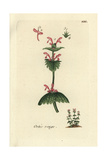 "Henbit Deadnettle, Lamium Amplexicaule, From Pierre Bulliard's ""Flora Parisiensis,"" 1776, Paris Giclee Print by Pierre Bulliard"