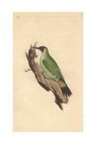 European Green Woodpecker From Edward Donovan's Natural History of British Birds, 1799 Giclee Print by Edward Donovan