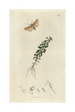 Nonagria Vectis, Rhizedra Lutosa, Isle of Wight Wainscot Moth, And Water Purslane, Peplis Portula Giclee Print by John Curtis
