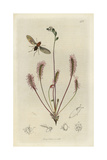 Drosophila Cameraria, Hairy-thoraxed Cellar-fly, with Great Sundew, Drosera Anglica Giclee Print by John Curtis