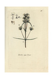 "French Psyllium, Plantago Arenaria, From Pierre Bulliard's ""Flora Parisiensis,"" 1776, Paris Giclee Print by Pierre Bulliard"