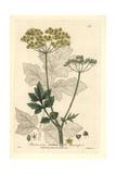 Wild Parsnip, Pastinaca Sativa, From William Baxter's British Phaenogamous Botany, 1835 Giclée-Druck von Isaac Russell
