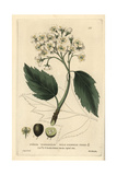 Wild Service Tree, Pyrus Torminalis, From William Baxter's British Phaenogamous Botany, 1834 Giclee Print by Isaac Russell
