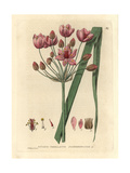 "Flowering Rush, Butomus Umbellatus, From Pierre Bulliard's ""Flora Parisiensis,"" 1776, Paris Giclee Print by Isaac Russell"