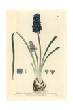 Starch Grape-hyacinth, Muscari Racemosum, From William Baxter's British Phaenogamous Botany, 1834 Giclee Print by Isaac Russell