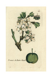 "Italian Prune, Prunus Domestica Cereola, From Pierre Bulliard's ""Flora Parisiensis,"" 1776, Paris Giclée-Druck von Pierre Bulliard"