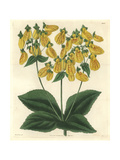 Crenate-flowered Slipperwort, Calceolaria Crenatifolia Or Calceolaria Tripartita Giclee Print by James McNab