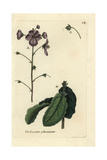 "Purple Mullein, Verbascum Phoeniceum, From Pierre Bulliard's ""Flora Parisiensis,"" 1776, Paris Giclee Print by Pierre Bulliard"