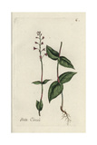 "Alpine Enchanter's Nightshade, Circaea Alpina, From Bulliard's ""Flora Parisiensis,"" 1776, Paris Giclee Print by Pierre Bulliard"