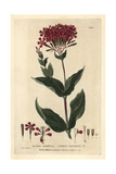 Lobel's Catchfly, Silene Armeria, From William Baxter's British Phaenogamous Botany, 1834 Giclee Print by Isaac Russell