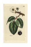 "Blackberry, Rubus Fruticosus, From Pierre Bulliard's ""Flora Parisiensis,"" 1776, Paris Giclee Print by Pierre Bulliard"
