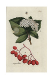 "Azarole Tree, Crataegus Azarolus, From Pierre Bulliard's ""Flora Parisiensis,"" 1776, Paris Giclee Print by Pierre Bulliard"