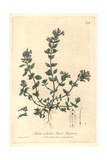 Basit Thyme, Acinos Vulgaris, From William Baxter's British Phaenogamous Botany, Oxford, 1842 Giclee Print by Charles Mathews