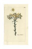 "Prick-madam, Sedum Reflexum, From Pierre Bulliard's ""Flora Parisiensis,"" 1776, Paris Giclee Print by Pierre Bulliard"