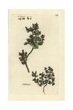 Stinking Goosefoot, Chenopodium Vulvaria Giclee Print by Pierre Bulliard