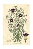 Linear-leaved Salpiglossis, Salpiglossis Linearis Or Calibrachoa Linearis Giclee Print by James McNab