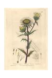 Carline Thistle, Carlina Vulgaris, From William Baxter's British Phaenogamous Botany, 1841 Giclee Print by Charles Mathews