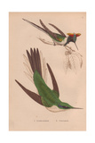 Double-crested, Trochilus Cornutus, And Green Violet-ear Hummingbird, Colibri Thalassinus Giclee Print by Henry Gardiner Adams