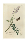 Aglossa Streatfieldii, Aglossa Pinguinalis, Mendip Tabby Moth, And Wood Vetch, Vicia Sylvatica Giclee Print by John Curtis