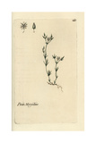 "Chickweed, Alsine Mucronata, From Pierre Bulliard's ""Flora Parisiensis,"" 1776, Paris Giclee Print by Pierre Bulliard"